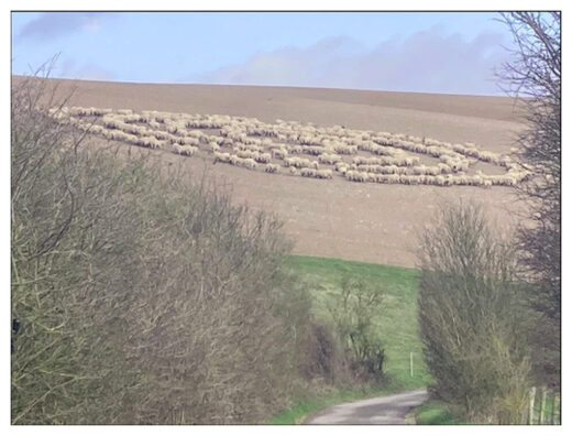 Mystery over sheep standing in concentric circles, sheep circle, sheep circle phenomenon