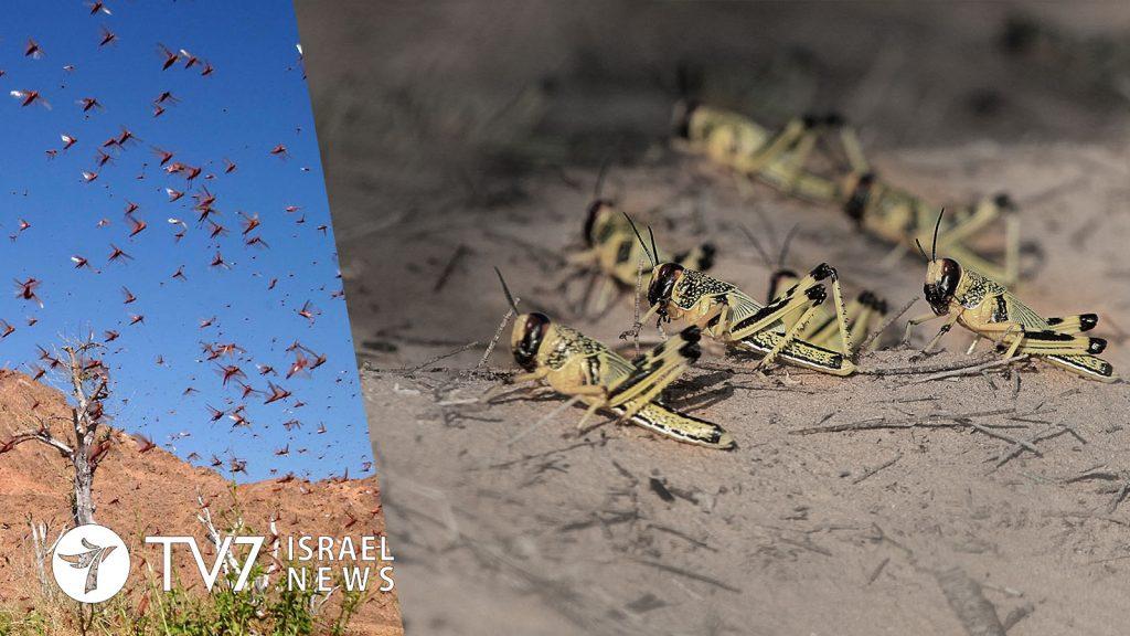 israel locust plague, israel locust plague video, israel locust plague photo, Plague of locusts hit Israel
