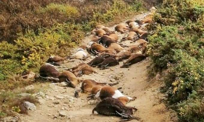 68 goats were killed by a lightning in Portugal on April 9 2021, 68 goats were killed by a lightning in Portugal on April 9 2021 photo, 68 goats were killed by a lightning in Portugal on April 9 2021 pictures, 68 goats were killed by a lightning in Portugal on April 9 2021 video