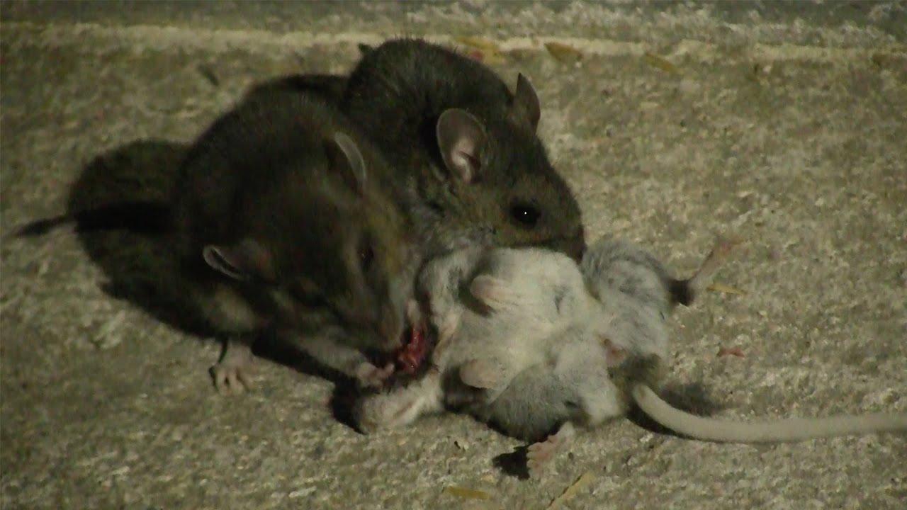 cannibal-mice.jpg