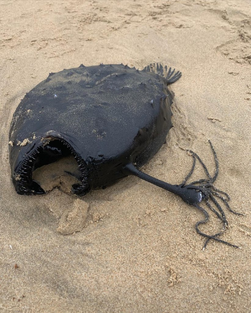 deep-sea anglerfish found dead in Southern California