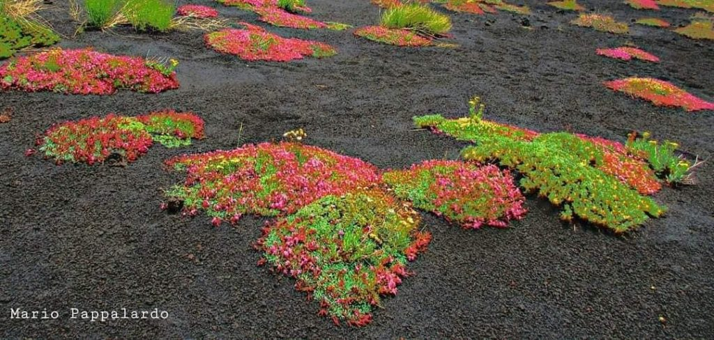 flowers etna ash, flowers grow from ash of etna volcano, etna volcano flowers, flowers grow after etna eruption on volcano, what are volcanic flowers, flowers that grow on volcano