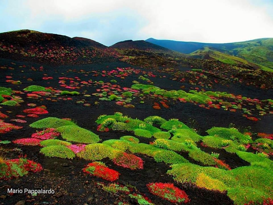 flowers etna ash, flowers grow from ash of etna volcano, etna volcano flowers, flowers grow after etna eruption on volcano, what are volcanic flowers, flowers that grow on volcanoash