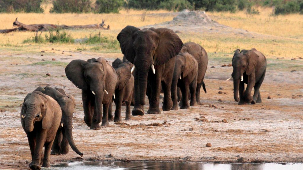 oil project threatens life of 130000 elephants in Africa, A new gigantic oil project in Botswana and Namibia is threatening the life and ecosystem of 130,000 African elephants