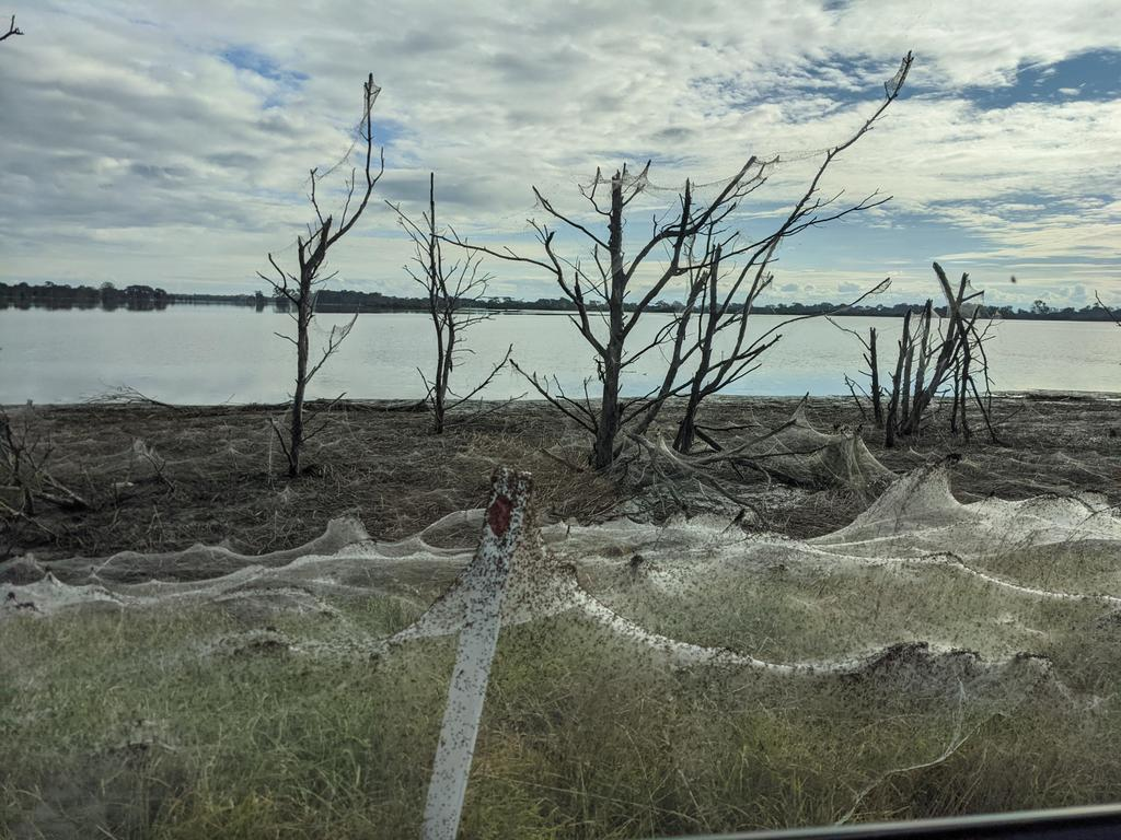 spider invasion australia, australia spider invasion victoria floods, spider web victoria australia floods june 2021