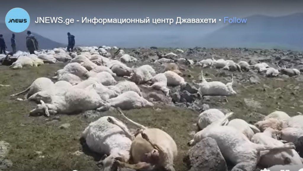 500 sheep killed by lightning in Georgia, 500 sheep killed by lightning in Georgia video, 500 sheep killed by lightning in Georgia picture