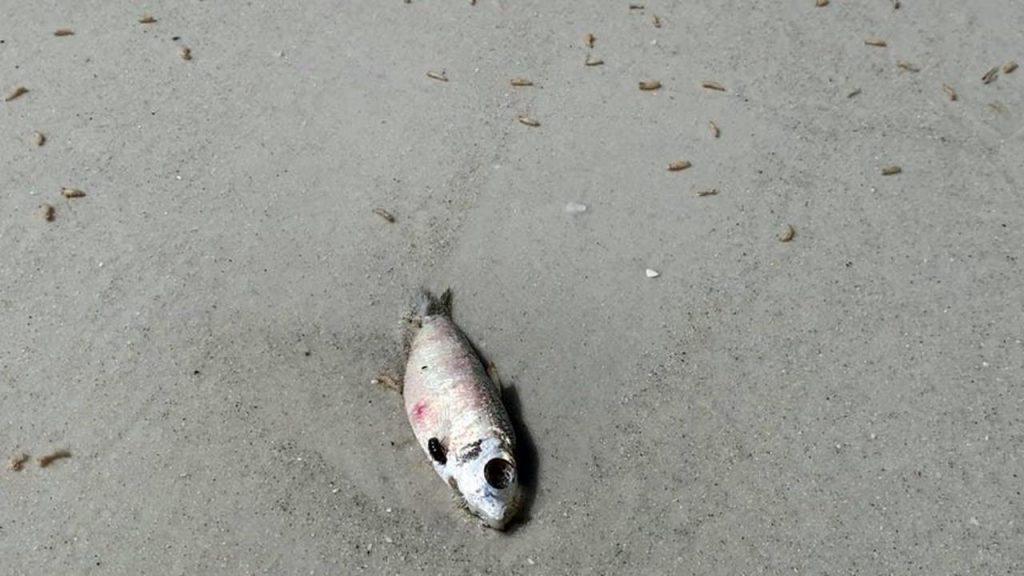maggots beach florida, maggots beach florida red tide, maggots beach florida video, maggots beach florida picture, maggots beach florida august 2021