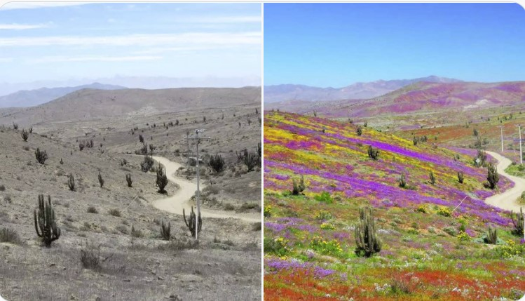 flowering desert atacama chile september 2021, flowering desert atacama chile september 2021 pictures, flowering desert atacama chile september 2021 videos, disierto florido atacama