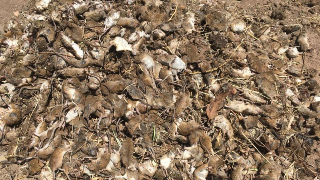 Horror mouse plague surges again across Australia