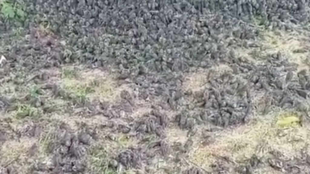 thousands of dead sparrows in bali indonesia, thousands of dead sparrows in bali indonesia video, thousands of dead sparrows in bali indonesia pictures, thousands of dead sparrows in bali indonesia september 2021, Thousands of dead sparrows fall from the sky in Bali Indonesia
